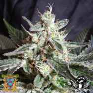 Sweet Seeds Black Jack