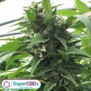 SuperCBDx Seeds Sweet Tooth x SCBDX