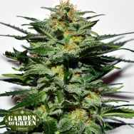 Garden of Green Seeds Sweetberry Cough AUTO