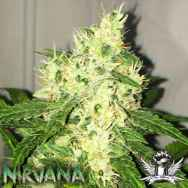 Nirvana Seeds AUTO Swiss Cheese