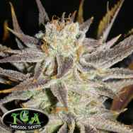 TGA Subcool Seeds Queen Anne's Revenge