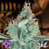 Gage Green Seeds Aloha Grape Stomper