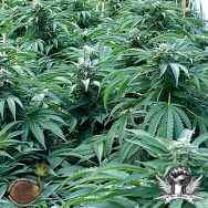 Emerald Triangle Seeds Bubba 76
