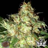 Emerald Triangle Seeds Bubba Cheese AUTO