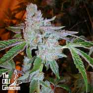 Cali Connection Seeds Tahoe OG Kush