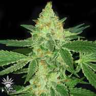 CannaVenture Seeds Tennessee Kush