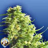 Flying Dutchmen Seeds Thai Tanic