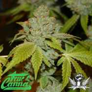 True Canna Genetics The Truth