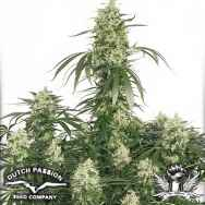 Dutch Passion Seeds The Ultimate