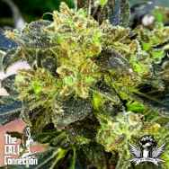 Cali Connection Seeds Boss Hogg