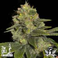 Cali Connection Seeds Deadhead OG