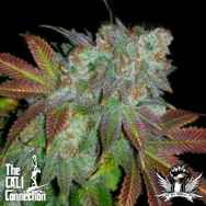Cali Connection Seeds Jamaican D