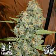 Cali Connection Seeds Jedi Kush