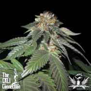 Cali Connection Seeds Julius Caesar