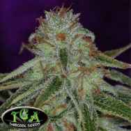 TGA Subcool Seeds The Flav