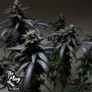 The Plug Seedbank Blue Sherbet