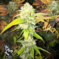 The Plug Seedbank Double Banana Sherbet