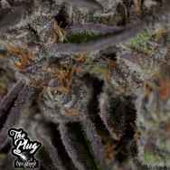 The Plug Seedbank Jungle Scout Cookies