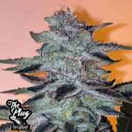 The Plug Seedbank Strawbanana Glue