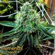 Elemental Seeds The True OG