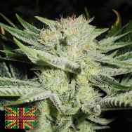 Connoisseur Genetics Seeds The White S1