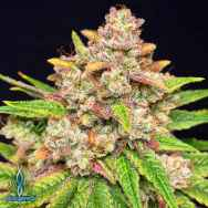 Exotic Genetix Seeds Throwback Kush