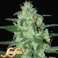 Samsara Seeds Thunder Bloody Mary Automatic