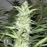 Holy Smoke Seeds ThunderBud