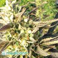 Medicann Seeds Trainwreck