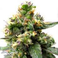 Dutch Passion Seeds Trance