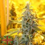 Connoisseur Genetics Seeds Triangle Kush Haze