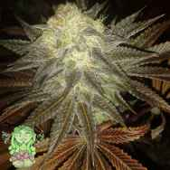 Trichome Jungle Seeds Cherry Spice