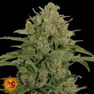 Barneys Farm Seeds Triple Cheese