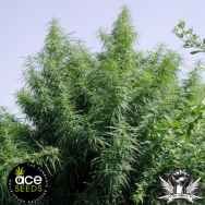 Ace Seeds Tropical Mix