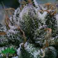 BC Bud Depot Seeds Tuna God
