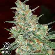 Kulu Seeds Turbo Diesel