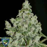 T H Seeds MK-Ultra Sour Kush