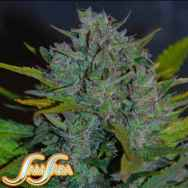 Samsara Seeds Automatic Ultraviolet