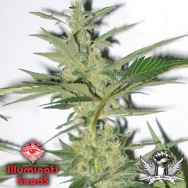 Illuminati Seeds Valley Rose