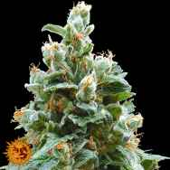 Barneys Farm Seeds Vanilla Kush