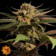 Barneys Farm Seeds Violator Kush