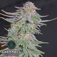 Greenbud Seeds White Widow x AK 47 Early Version