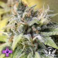 Gage Green Seeds White Buzz