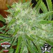 Hazeman Seeds White Grapes