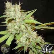 Seedism Seeds White Skunk