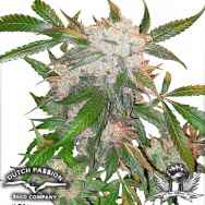 Dutch Passion Seeds White Widow