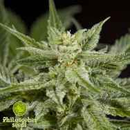 Philosopher Seeds White Yoda AUTO