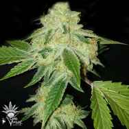 CannaVenture Seeds White Animal
