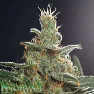 Nirvana Seeds White Castle