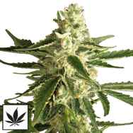 White Label Seeds White Diesel Haze Automatic